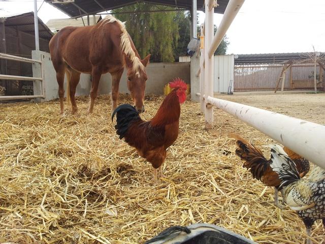 סוסה בחצר של צימר קלם